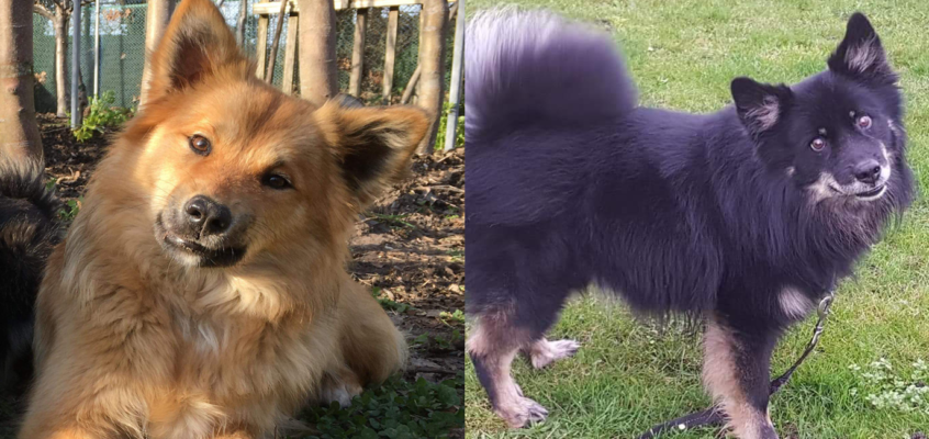Verwacht begin april: pups van Tyra van Rogici (Bindi) x Bersi van Rogici