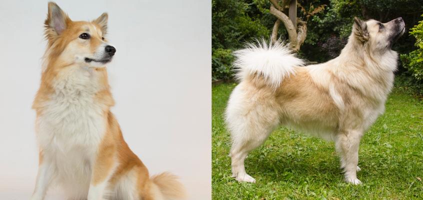 Geboren 22 mei: pups van Rosa-Salka fra Kerlingarfjöll x Kersins Vaskúr – gereserveerd