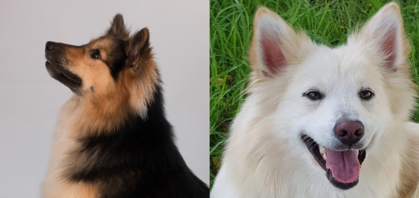 Geboren 31 juli – Idunn van Rogici x Geisli of Sheila's farm (Kibo) – pups beschikbaar