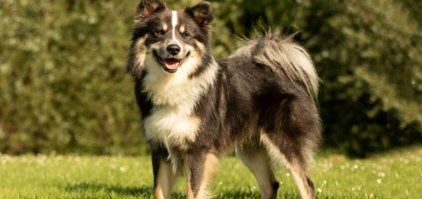 Dag van de IJslandse Hond 5 september – Nestkeuringen